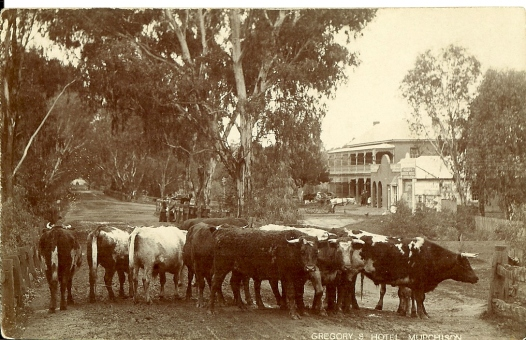 This early photo shows cattle arriving at the cattle yards opposite Gregory's Hotel. Those attending cattle sales were regular guests at the Hotel..jpg